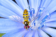 Sparkling Hoverfly (raypainter) Tags: allograptaobliqua flowerfly laowamacrotwinflashkx800 scotttucker tinygame canon animals arthropod bug bugs chicory colorado diptera eos70d flies flora flower fly hfdf hoverfly insects macro micro microfauna nature outdoors pollen raypainter syrphidae wildlife ef100mm