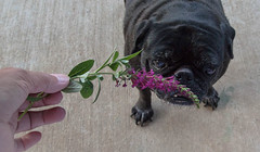 Miss Mollie (Fay Stout) Tags: thegarden molliesue pug buddleia missmollybutterflybush butterflybush