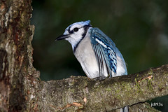 Blue Jay (jt893x) Tags: 150600mm bird bluejay cyanocittacristata d500 jay jt893x nikon nikond500 sigma sigma150600mmf563dgoshsms songbird specanimal