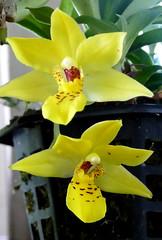 Promenea xanthina species orchid 7-16 (nolehace) Tags: promenea xanthina species orchid 716 new doc summer nolehace sanfrancisco fz1000 flower plant bloom