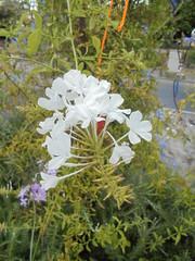 025 (en-ri) Tags: fiorellini bianco sony sonysti
