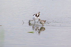 American Avocet and Greater Yellowlegs (C-Brese Photography) Tags: cbrese americanavocet american avocet bird greater yellowlegs greateryellowlegs tringamelanoleuca recurvirostraamericana