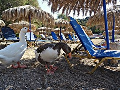 And the white duck said: I will stay under umbrella because I don't want to tan like you. (panoskaralis) Tags: ducks birds beach tarti shore umbrela coast lesbos lesvosisland lesvos mytilene greece greek hellas hellenic sea seaside summer greeksummer summerholidays holidays aegeansea aegean