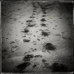 Si no avanzo y me adormezco es que algo estoy haciendo mal (Aviones Plateados) Tags: 500x500 1x1 canon eos550d rebel t2i kissx4 squareformat square snapseed passos pasos arena sand sorra manologarca caminare todoesahora steps playa beach platja footsteps footprints tread vanishingpoint