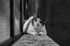 Down Town Cat (Sub(urban) Art(ist) ( Fuji X-T1 )) Tags: cat cats blackandwhitecat igorskalceri flickr nationalgeographic macka zivotinja animals pets fujifilmxt1