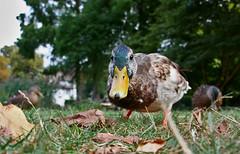Enteenteenteente! (Hulalena) Tags: ente duck hello park nature animal tiere quak stadtgarten freiburg