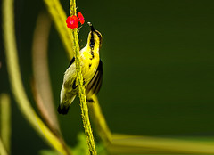Honey Collector (Joshi.Raghavendra) Tags: sunbird birds tamron150600