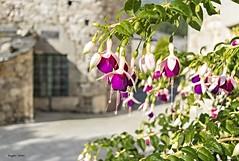 Los pendientes de la reina (ninestad) Tags: flores airelibre aldea galicia espaa verano