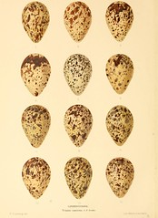 greatbritain birds eggs nests smithsonianinstitutionlibraries eggcellent limicolae bhl:page=13708611 dc:identifier=httpbiodiversitylibraryorgpage13708611
