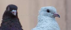 Common White Pigeon (Imthyas Ahmed Shirajee) Tags: white bird nature birds photography nikon university photographer pigeon wildlife photographers delta east common ahmed ctg bangladesh vr bangla birdwatcher chittagong 70300 d90 imti pakhi birdsofbangladesh chattagram imthyas shirajee mehidibag commonwhitepigeon