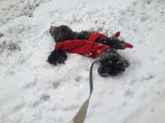 Once we got to Bay State, Nemo rolled around some more. (prestel.pups) Tags: nemo blizzard brookline coolidgecorner photostream winterstormnemo