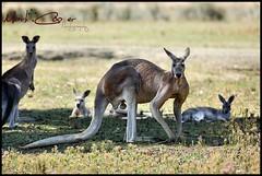 Big Red (Mark-Cooper-Photography) Tags: park red fauna canon big mark iii australia victoria kangaroo huge 5d vic tall roo 400mm kyabram ef400mmf56l 5dmarkiii markcooperphotography