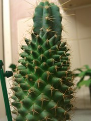 #5 Cactus Graft For 2013 latest (CT Photography.) Tags: christmas cactus easter grafted graft grafts