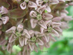 Milkweed star flower (De Justice) Tags: flower nature garden pinkflower milkweed wildflower starflower starshapedflower