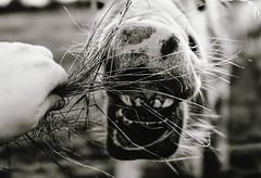 Horse (Espressionisti22) Tags: horse white black animal sony feed rx1 espressionisti22