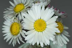 flower macro daisy