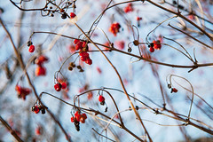 Cranberry bush (Minarge) Tags: blue red bush berries kalyna