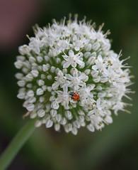 (KatyC2009) Tags: flowers white flower ladybug onion