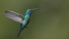 Green Violetear in Flight (Raymond J Barlow) Tags: colour green bird art costarica hummingbird wildlife violet adventure avian birdinflight avianexcellence allnaturallight raymondbarlowtours