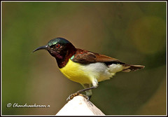 2863 - purple-rumped sunbird-  (chandrasekaran a 546k + views .Thanks to visits) Tags: india nature birds handheld chennai sunbird purplerumpedsunbird tamron200500mm canon60d allofnatureswildlifelevel1