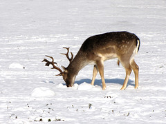 Is there any food under this white stuff? (Wilma1962*) Tags: winter snow sneeuw ngc deer fallowdeer hert damhert mygearandme mygearandmepremium mygearandmebronze mygearandmesilver mygearandmegold mygearandmeplatinum mygearandmediamond