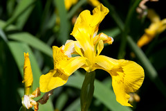 CT360 Yellow Iris (listentoreason) Tags: iris usa plant flower color nature yellow closeup america canon newjersey unitedstates favorites places groundsforsculpture floweringplant angiospermae monocot liliopsida magnoliophyta angiosperm ef28135mmf3556isusm score30 asparagales