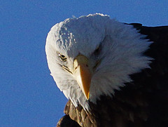 3EagleMar2013two (jimehle58) Tags: