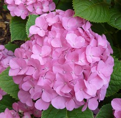 Heidelberg, Germany, Pink Hydrangea Flowers (lalobamfw (Thanks for 3.5+ Million Views)) Tags: pink flowers nature leaves germany blossoms hydrangea heidelberg blooms coth coth5