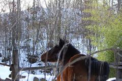 Spring??? Not Yet, Guys       (Xena*best friend*) Tags: wood winter wild horses italy pet snow cold animals fun photography woods flickr shots walk piemonte fields paws cavalli cavalo chevaux wildanimals gigia  allrightsreserved piedmontitaly canonef70300mm canoneos500d eosrebelt1i horsesplayinginthesnow