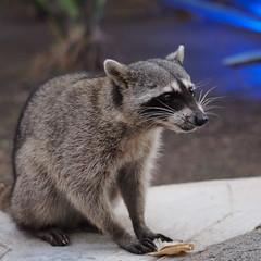 I got you! (Stephane Jouvelot) Tags: animal mexico olympus mexique omd mzuiko