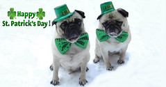 Facebook Cover Timeline Photo Pug St. Patrick's Day (DaPuglet) Tags: irish dog pets holiday cute green dogs animals march photo costume spring funny patrick pug card cover timeline patricks pugs greeting facebook