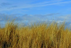 Marram Grass Curracloe (Explored) (murtphillips) Tags: nature martin phillips reserve raven wexford murt explored sloblands mygearandme rememberthatmomentlevel1 besteverdigitalphotography