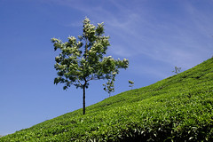 Tree in the Tea (gornabanja) Tags: blue sky plants india plant tree green nature outside outdoors nikon d70 tea bluesky kerala crops agriculture munnar mygearandme mygearandmepremium mygearandmebronze