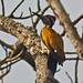 Hathikhira Birds-545 - Chrysocolaptes lucidus