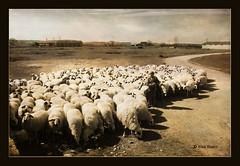 Palenzuela .... (PITUSA 2) Tags: rebaño pastor ovejas palenzuela palencia castillaleon españa pitusa canon joséfríastamayo