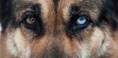 Bowie (J. Lozano) Tags: pet sony perro ojos mirada mascota