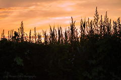 Landscape Mini (Thomas Gillen Photography) Tags: sunset summer sky newyork green silhouette clouds contrast canon reeds landscape shadows fineart ivy mini highlights longisland kingspark bushes lightroom suffolkcounty youngphotographers sunkenmeadowstatepark thomasgillenphotography