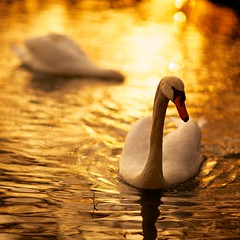 Golden swan (generalstussner) Tags: sunset orange sun lake bird nature water swimming golden swan pond mood sunny majestic canonef85mmf12liiusm 5dmarkiii