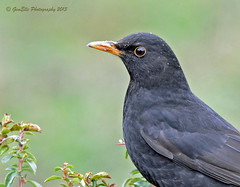 Blackbird (GemElle Photography) Tags: black bird nikon chat blackbird gemelle sigma50500 d600 yellowbeak gemelle1
