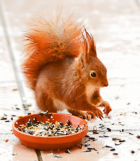 Eichhörnchen am gedeckten Teller, NGID1534973340