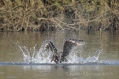Cormorant (Bathtime) (Robin M Morrison) Tags: somerset cormorant chard phalacrocoracidae chardreservoir