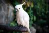 Sulfur-Crested Cockatoo [Cacatua galerita] (khairul amri marhalim) Tags: bird animal nikon burung sulfurcrestedcockatoo cacatuagalerita d90 kakaktua