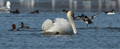 Mute swan with arched wings (psiegle) Tags: muteswan independencegrove lcfpd muteswanwitharchedwings