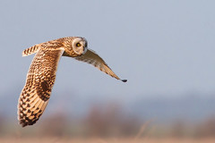Short Eared Hapiness (Roeselien Raimond) Tags: bird canon flying flight owl shortearedowl asioflammeus naturephotgraphy velduil roeselienraimond atuurfotografie