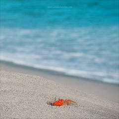 You will never make the crab walk straight. (www.juliadavilalampe.com) Tags: blue sea beach square landscape ecuador sand pacific crab manab playadelosfrailes