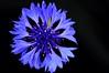 Cornflower Blue (luckyme88) Tags: california flower fl cornflower floralappreciation 60mmf28gmicro