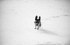 Nik1_2013_030 (Jari Savijärvi) Tags: dog beagle runnig luppa ilforfp4