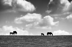 Future Derby Racers (noblerzen) Tags: horses bw landscape nikon kentucky pasture versailles equestrian thoroughbred woodford foals d90