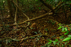 Images of the jungle (supersky77) Tags: africa forest guinea rainforest westafrica mound termite foresta jungla guineabissau giungla termiti termitaio africaoccidentale cantanhez