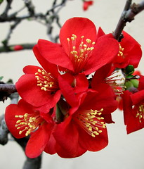 """Carallina"" (Puzzler4879) Tags: flowers red brooklyn camelias ngc bonsai bbg brooklynbotanicgarden pointshoot botanicgardens redflowers canonpowershot canondigital canonaseries canonphotography perfectpetals canonpointshoot a580 worldofflowers wonderfulworldofflowers canona580 freeflickrflowers canonpowershota580 powershota580 amazingdetails addictedtoflower naturewithallitswonders silveramazingdetails goldamazingdetails level1photographyforrecreation"